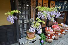 Fuji (wisteria) as bonsai in front of shop, Takayama, Japan