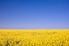 Rape field - Rape field in Schleswig-Holstein, Germany