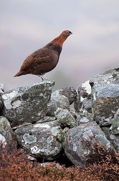Red Grouse on stone wall by Guy_Rogers
