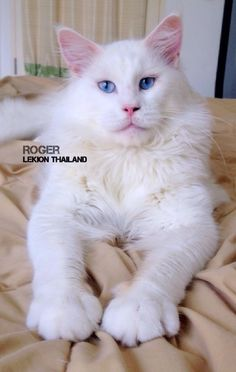 "Roger "" Maine coon Cat "" CFA Lekion Thailand"