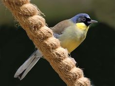 Blue-crowned Laughingthrush (Ianthocincla courtoisi also Garrulax courtoisi) by Dick Daniels