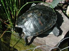 to build a backyard turtle pond. Because Dave brought a turtle home for the kids. Baby Tortoise, Tortoise Care, Tortoise Habitat, Pet Turtle Care, Turtle Enclosure, Turtle Homes, Slider Turtle, Turtle Habitat, Turtle Pond
