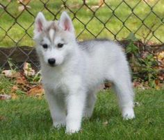husky siberiano bianco cucciolo