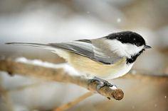 Cute Birds: The Top 10 Most Adorable Birds: Cute Bird #3 - Black-Capped Chickadee