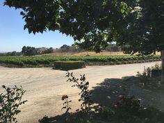 Vignobles - Santa Ynez - Californie