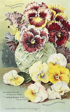 Watlee Burpee & Co., 1906 seed catalogue page - Giant ruffled 'Masterpiece' and orchid flower pansies
