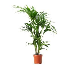 HOWEA FORSTERIANA Potted plant, Kentia palm