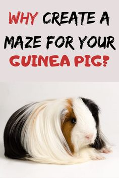 Since Guinea Pigs are animals which like to be challenged, you can create a small maze in a different container. Diy Guinea Pig Toys, Guinea Pigs, Emotional Support Animal, All About Animals, Happy Animals, Maze, Container, Entertaining, Pig Ideas