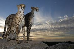 Cheetahs Paradise by Carlos Santero on 500px
