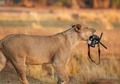 An Atlanta photographer lost his Canon to a brave lioness that lifted the expensive equipment off its tripod and slunk away, carrying it between her teeth like a cub.