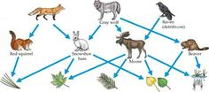 Food Web Red Fox