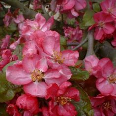 Malus x purpurea 'Eleyi'. Charming crab apple, flowering in May.  Foliage is dark with pale bronze new foliage. Dark purple fruits. Up to 8m.
