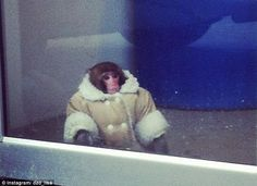 Warm and dry: The monkey that visited Ikea was wearing a thick winter coat and a diaper