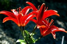 I love Asiatic Lillies.  I grow the deep reds and whites in my garden.