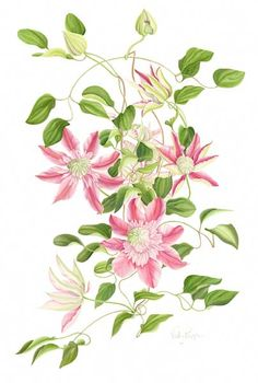 clematis drawing - Google Search
