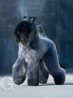 The Kerry Blue Terrier originates from Ireland and was bred originally for hunting badger, fox, rats and mice. It's origins can be dated back to the 1700's