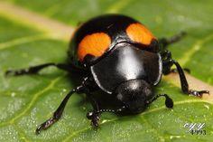˚Fungus Beetle (Erotylidae, Episcapha Gorhami)
