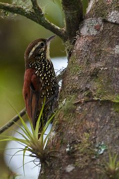 Pearled Treerunner - Margarornis squamiger - Subepalo Perlado - An insectivore native to regions in Central and South America Kinds Of Birds, Birds 2, Small Birds, Colorful Birds, Little Birds, Wild Birds, Love Birds, Pretty Birds, Beautiful Birds