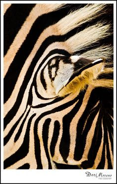 A close up image of a zebra creates a beautiful abstract. Taken at Addo Elephant National Park in Eastern Cape, South Africa. Zebra Painting, Black N White, Zebras, Animal Print Rug, National Parks, Elephant, The Incredibles, Zebra Stuff, Abstract