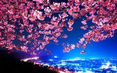 Обои япония, сакура, цветущая вишня, ночной город на рабочий стол