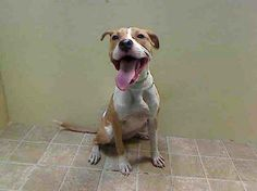 PUPPY ALERT! SUPER URGENT! TO BE DESTROYED 01/23/14 - TODAY! Brooklyn Center -P. My name is ALICE. My Animal ID # is A0989565. I am a female tan and white pit bull mix. The shelter thinks I am about 7 MONTHS old. I came in the shelter as a STRAY on 01/14/2014 from NY 11208, owner surrender reason stated was STRAY. https://www.facebook.com/photo.php?fbid=741609085851973&set=a.611290788883804.1073741851.152876678058553&type=3&theater