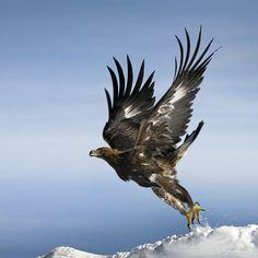 Golden Eagle 2 by Nicola Bombassei, via 500px                                                                                                                                                      More