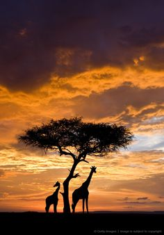 Silhoutted Giraffe with acacia tree at sunset