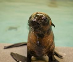 Fur Seal Pup!  A few months ago, this tiny Northern Fur Seal pup was found alone in a tangle of seaweed on a beach in California, severely underweight and blind in one eye. His coat was in poor shape, mottled with orange under fur showing where his dark brown guard hairs should be.