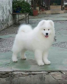 This is my dream dog! What a beauty! Samoyed pup