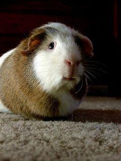 Brownie guinea pig