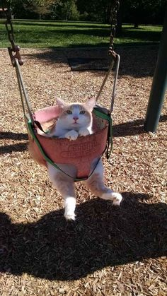 This cat who is here to show everyone that dogs aren't the only ones who look adorable on a swing set.
