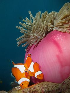 Pemuteran reef North Bali - clown fish shot with a nice perspective. Pair of mated clown fish   #clownfish