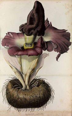Amorphophallus paeoniifolius (Dennst.) Nicolson [as Amorphophallus campanulatus Decne.], elephant yam, telingo potato, Blume, K.L., Rumphia, vol. 1: t. 32 (1835)