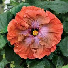 Hibiscus 'Tsunami' (Hibiscus rosa-sinensis hybrid)