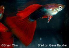 half black red delta tail guppy
