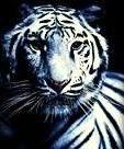 BANNED tiger.jpg photo