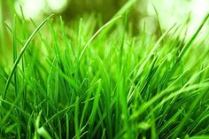 Learn How To Care For Fescue Lawns