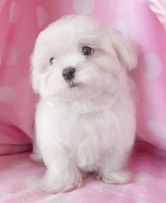 Cutie Pie Maltese Puppy :) This will be my puppy one day!