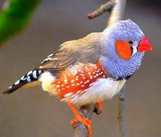 The Zebra Finch (Taeniopygia guttata)
