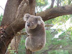 Koala - Strezlecki Ranges VIC