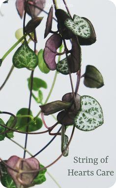 Succulents Garden, Garden Plants, Planting Flowers, Hanging Plants, Indoor Plants, Heart Care, House Plant Care, Plant Sale, Seed Pods