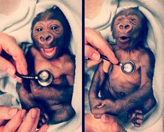 A baby gorilla at Melbourne zoo gets a checkup and Yakini shows the surprise at how cold the stethoscope is...