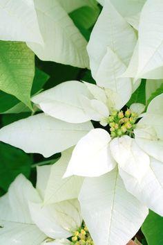 Euphorbia pulcherrima white