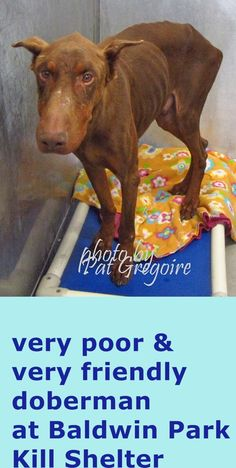 RESCUED --- A4659273 My name is Spike. I am a very friendly 5 yr old neutered male brown Doberman Pinscher. My owner left me here on Feb 26. available now. Obviously, extremely thin - 52 lbs. Came in with A465928  Located in bldg 4  --- Baldwin Park shelter Open for Adoptions 7 days a Week 4275 Elton Street, Baldwin Park, California 91706 Phone 626 430 2378 https://www.facebook.com/photo.php?fbid=931590523519452&set=pb.100000055391837.-2207520000.1425256006.&type=3&theater