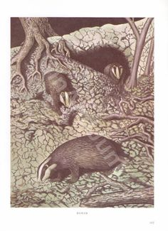 VINTAGE BADGER PRINT Animal Print 1970's Badger by GinAndJunk Animal Magic, Badger, Animal Prints, Blame, 1970s, Animals, Etsy, Vintage, Awesome