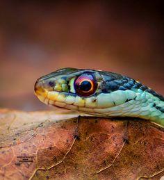 "Polubienia: 681, komentarze: 94 – Texas Photographer  (@texas_photographer) na Instagramie: ""The beautiful eye of the Ribbon Snake. A small but critical resident in my Texas backyard. - - - -…"""