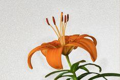 Lily... - Zambak, zambakgiller (Liliaceae) familyasının Lilium cinsinden genellikle soğan ile üreyen mevsimlik çiçekli bitkilerin adıdır. Zambakgiller familyasında bu cinse ait 110 civarında bitki türü vardır. Genellikle bahçe ve süs bitkisi olarak kullanılır, bazı soğanlı türleri de insanlar tarafından yenilebilir. Bu cinse ait zambak türü asıl zambaktır, isminde zambak geçen başka bitkilerde olmasına rağmen onlar diğer gruplara aittir. Zambak bitkisinin çiçekleri kimi ülke mutfaklarında…