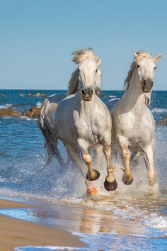 Horse Galloping, Andalusian Horse, Most Beautiful Horses, Pretty Horses, Horse Photos, Horse Pictures, Moustiers Sainte Marie, Nature Story, Valensole