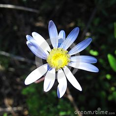 Photo about Closeup single blue daisy flower brightly light by sun on sunny day. Image of sunny, simple, flower - 105326907 Sun Stock, Blue Daisy, Botany, Blue Flowers, Sunny Days, Close Up, Sunnies, Victoria, Bright