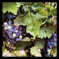 Fin del envero en el viñedo manchego